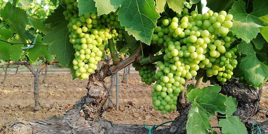 imatge de  Liber de Vinis > D.O. PENEDÈS: ¡Viva el xarel·lo!
